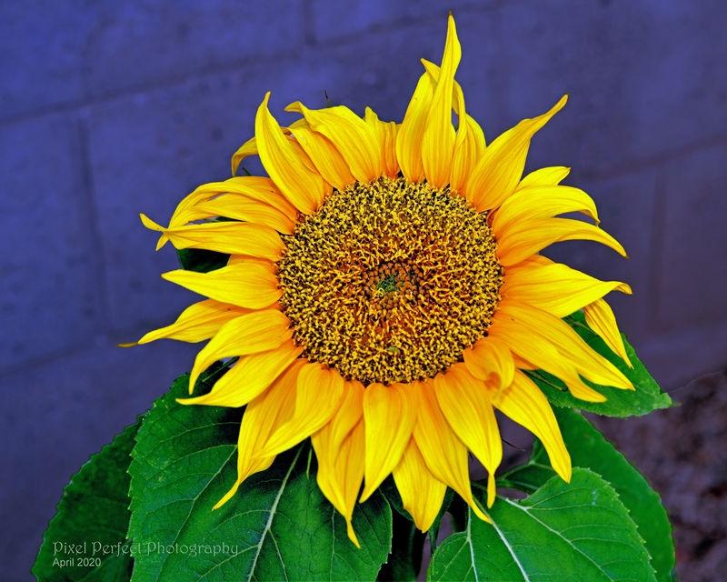 Golden Hour Sunflower