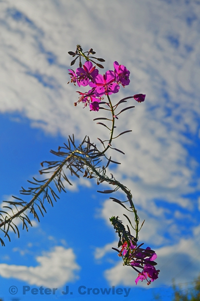 Flowes in the Sky