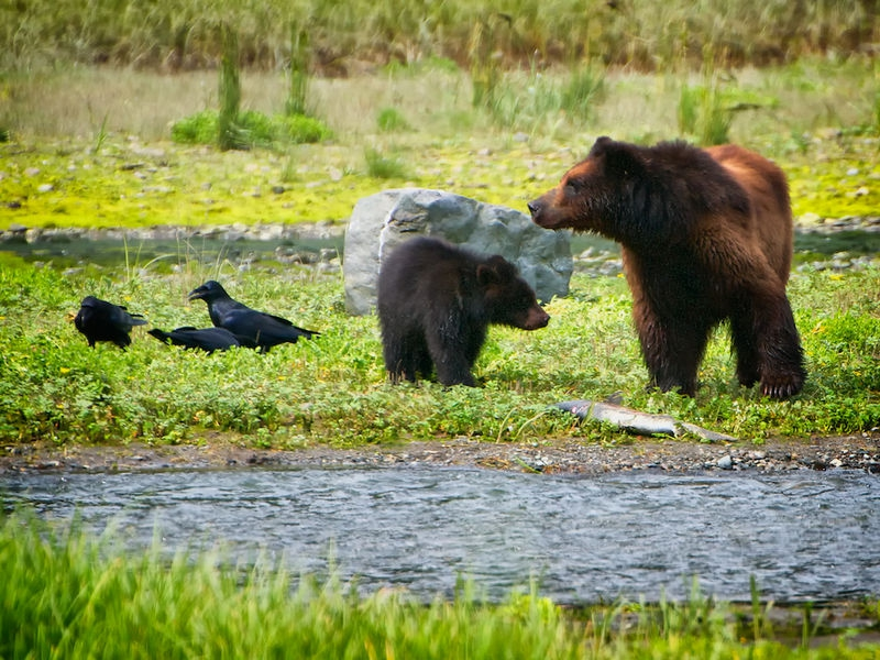 Costal Grizzly Sow & Cub