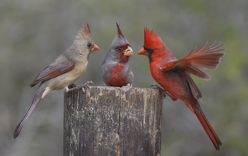 Northern Cardinal Pair with male Pyrrhuloxia at the feeding post