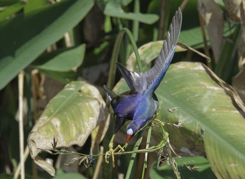 Porphyrio martinicus-Purple gallinule