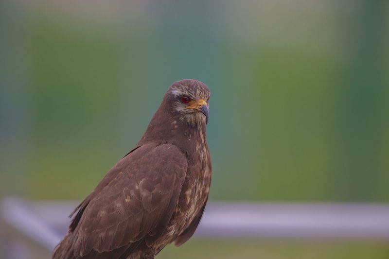 """Morning Hawk""-Buteo"