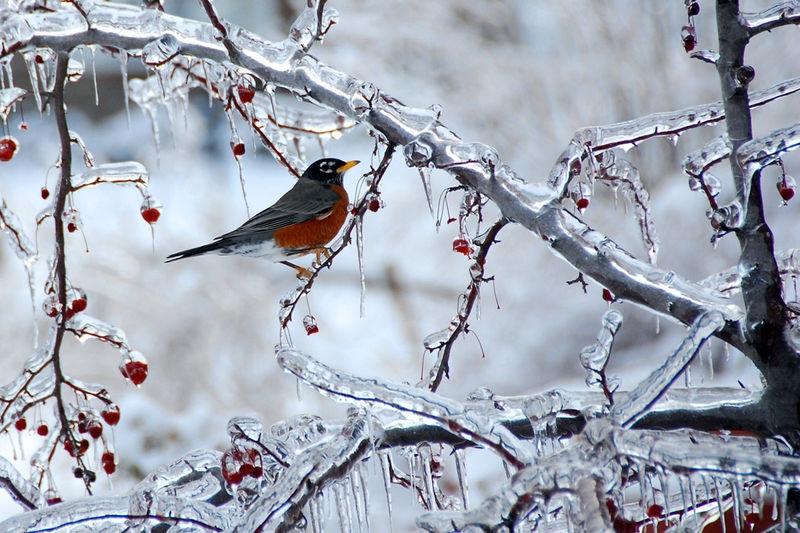 Robin and Ice