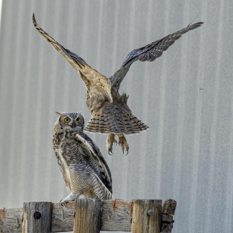 Great Horn Owlet Siblings