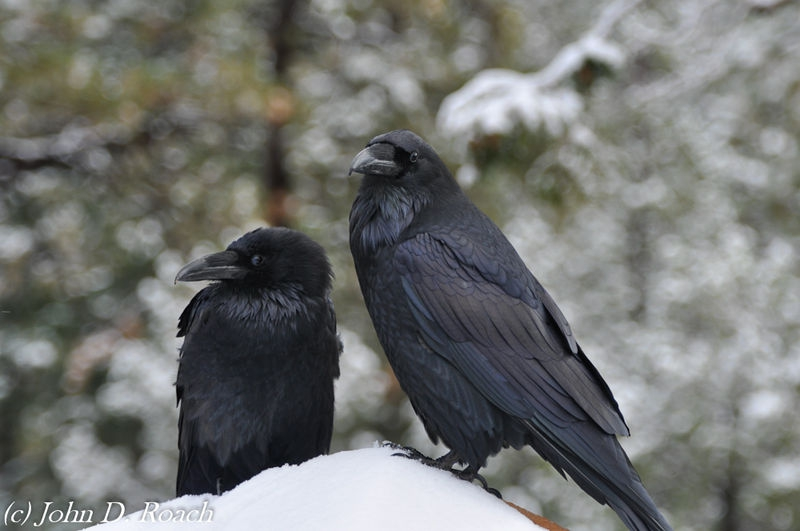 Ravens in the Snow at Bryce Canyon