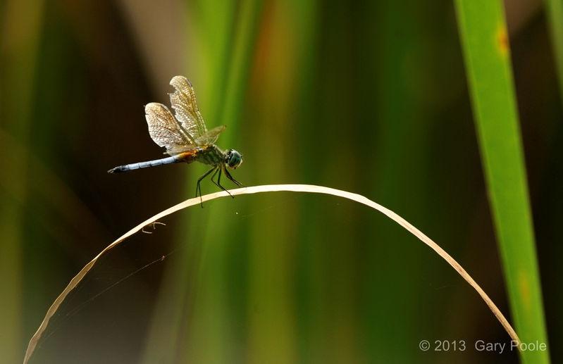 Dragon Fly on Marsh Grass - 2