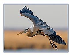 Bombay Hook Heron /TAHAWUS_53/