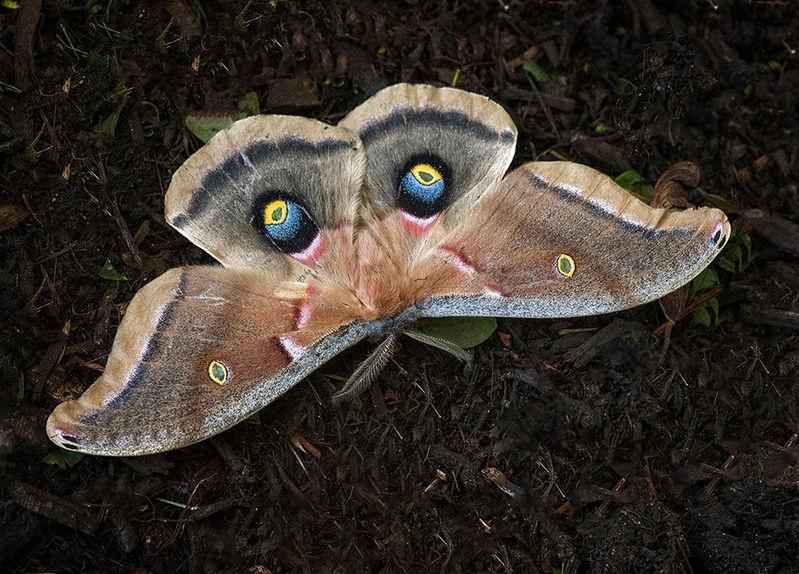 Large Moth- Antheraea polyphemus