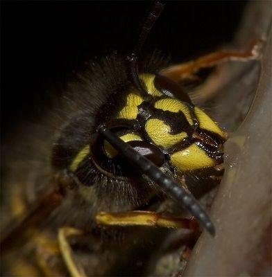 Wasp and honey