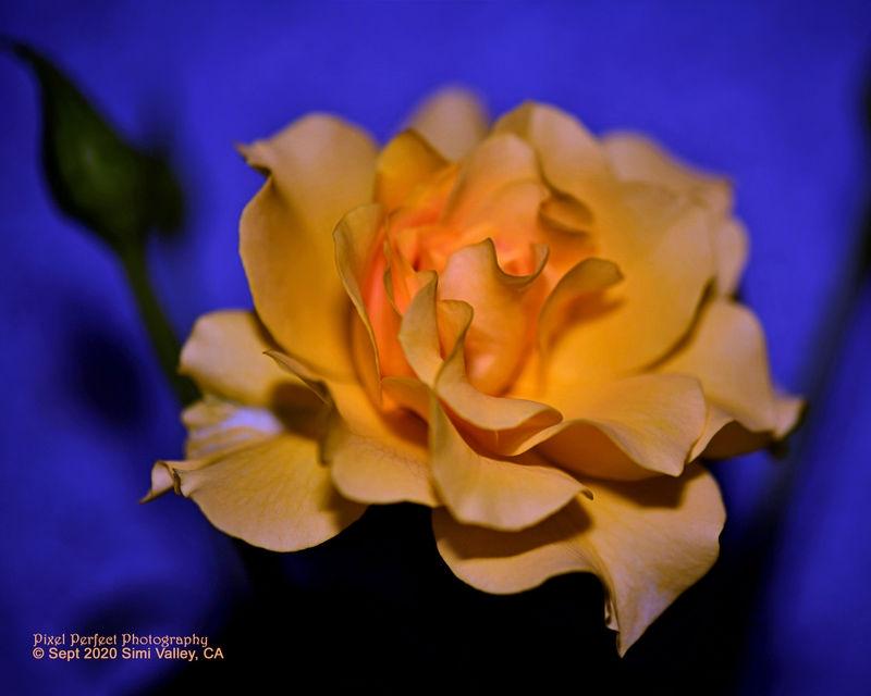 Golden Sunset Hour - Rose Tree Lovelies