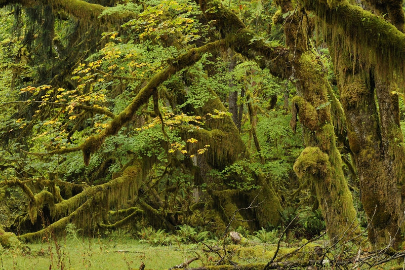 Hoh Rainforest Scene #1