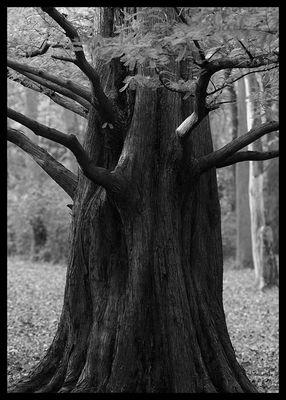 Tree-Brandywine