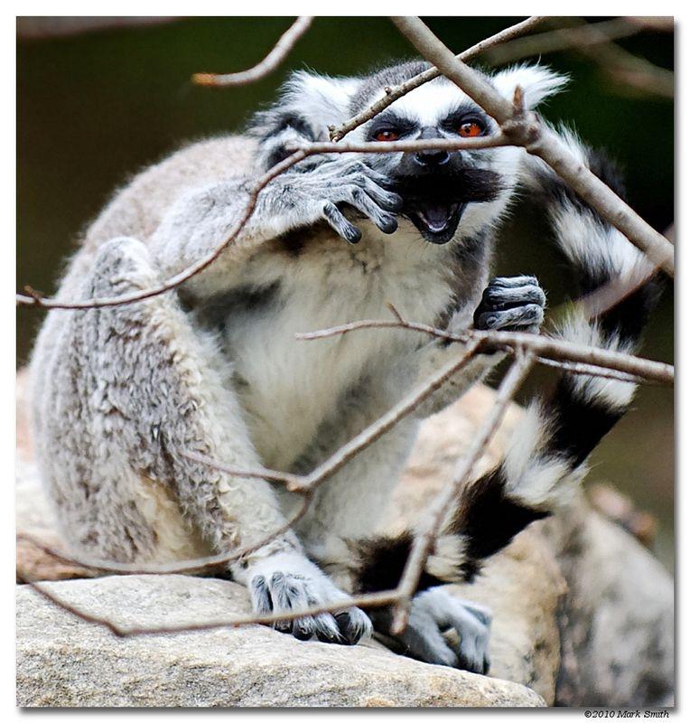 Lemur Does Groucho