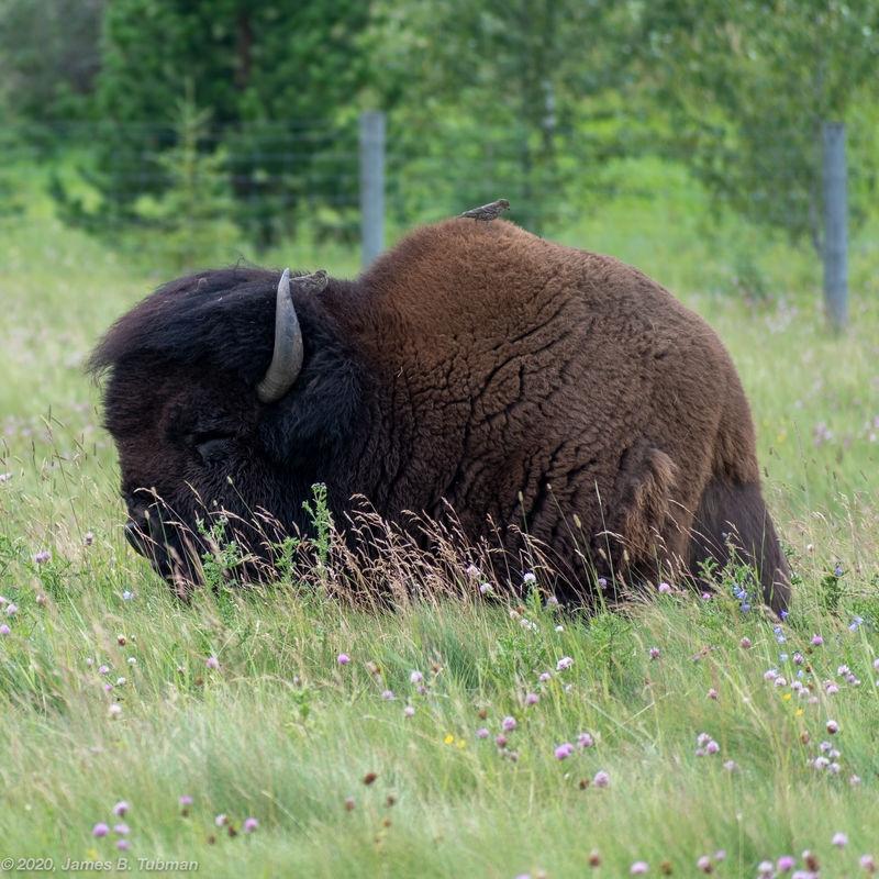 Buffalo and Birds