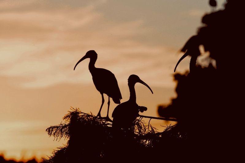 Ibis silhouettes