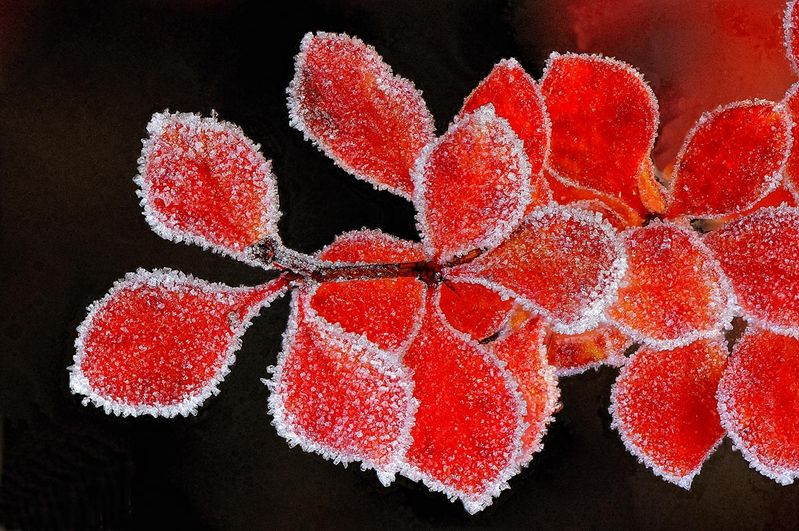 Red leaves with Frost
