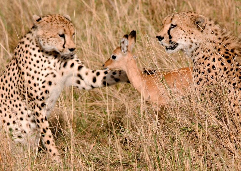 cheetah/impala