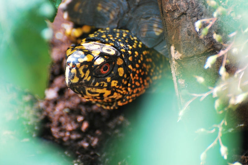 Handsome Box Turtle