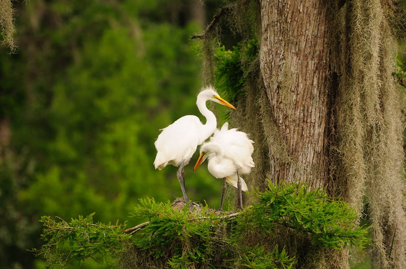 Just Hangin Out - Great Egrets