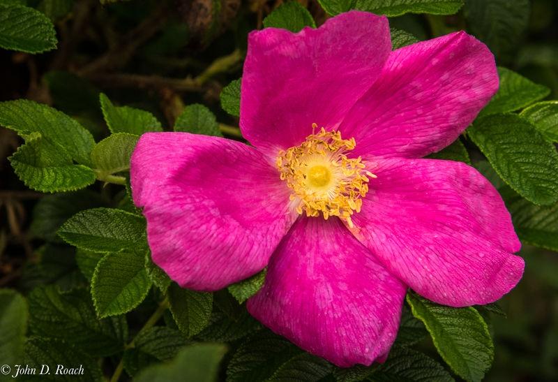 The_Wild_Rose_in_Maine-1