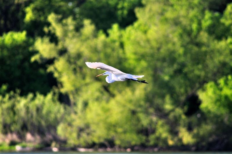 Snow White Egret in Flight