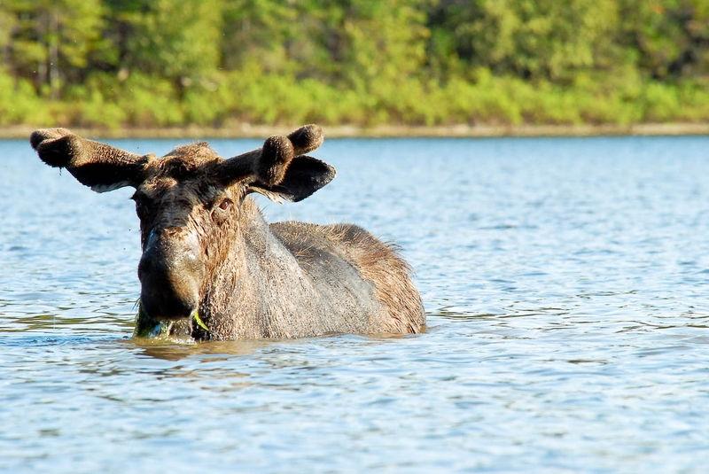 moose having Lunch