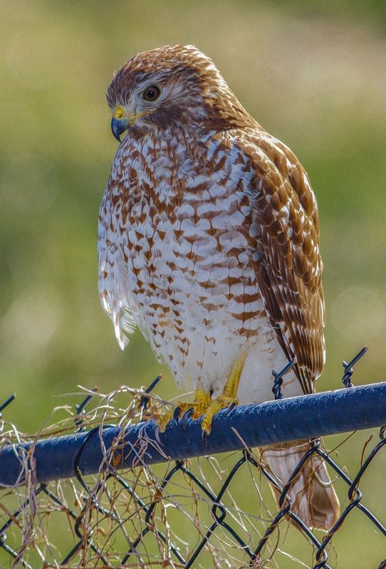 Buteo lineatus-Red Shouldered Hawk