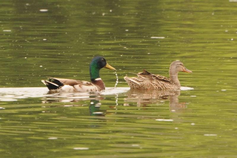 Fox River Ducks
