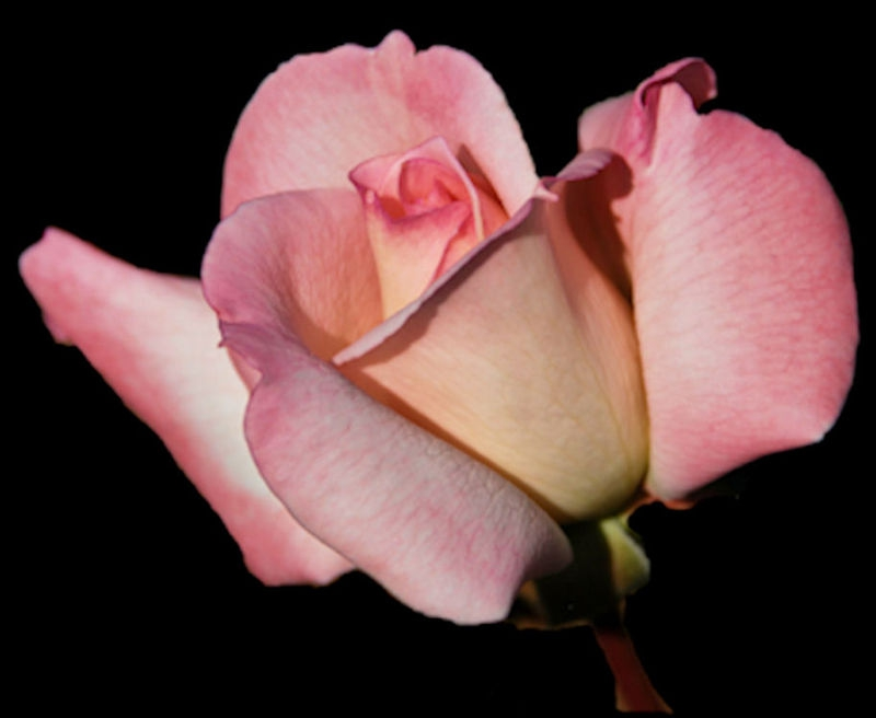 Pink Rose of Hyde