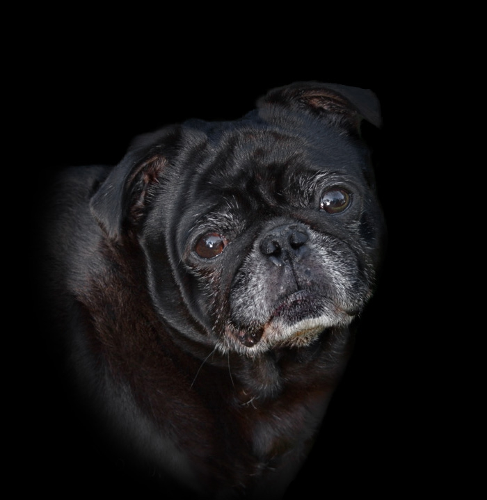 Otis My Black Pug Dog