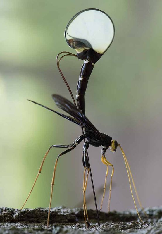 procreating wasp