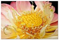 Lotus Flower /Dubes/