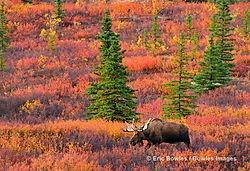 Denali Moose /ericbowles/