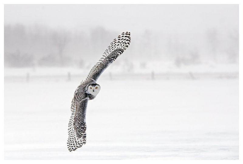 Hunting Snowy Owl
