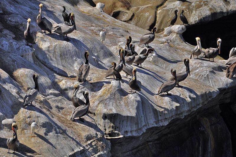 Pelicans... (redo)