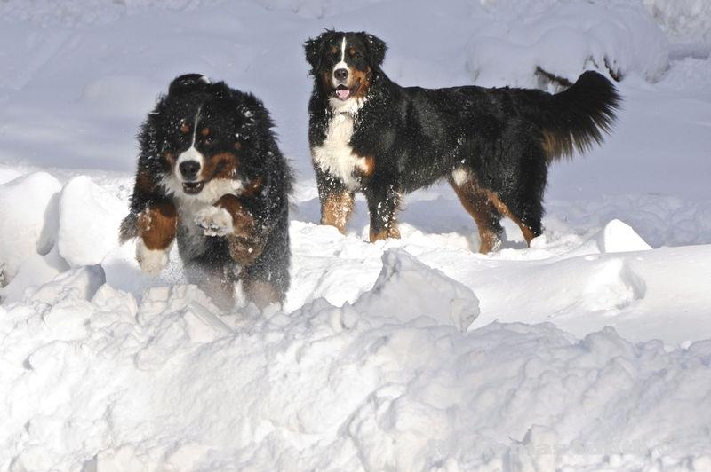 Berners playing in S Lake Tahoe snow