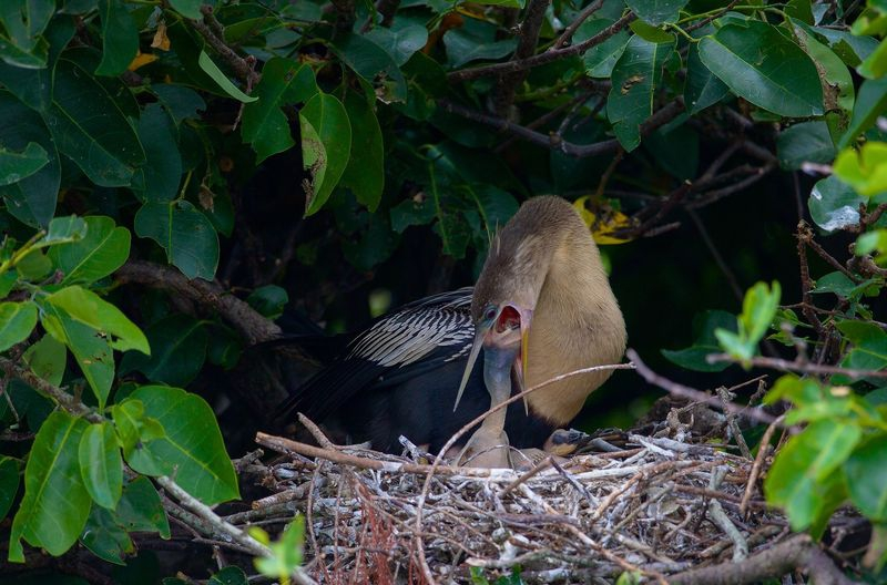 Anhinga Mother Feed's Baby in Nest