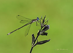 Spotted Spreadwing D... (dgknodle)