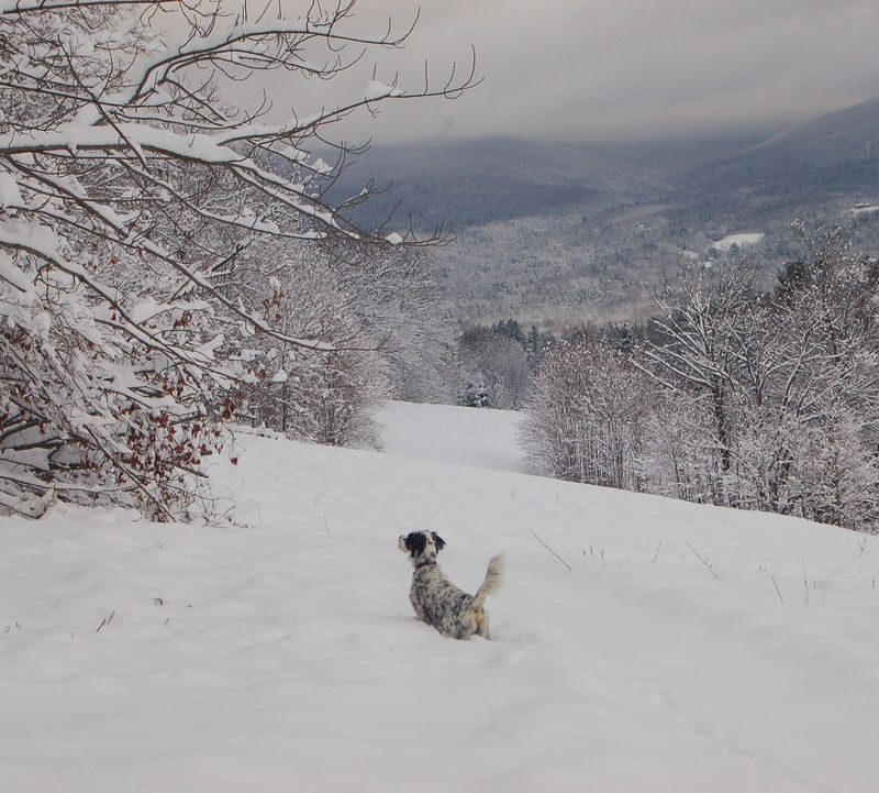 English Setter in snow