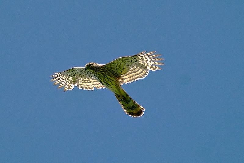 Cooper's hawk overhead