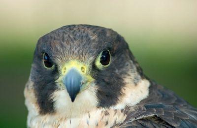 Bird of Prey1