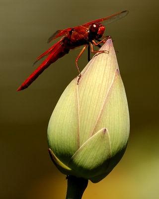 Dragon Fly on Lotus Blossum
