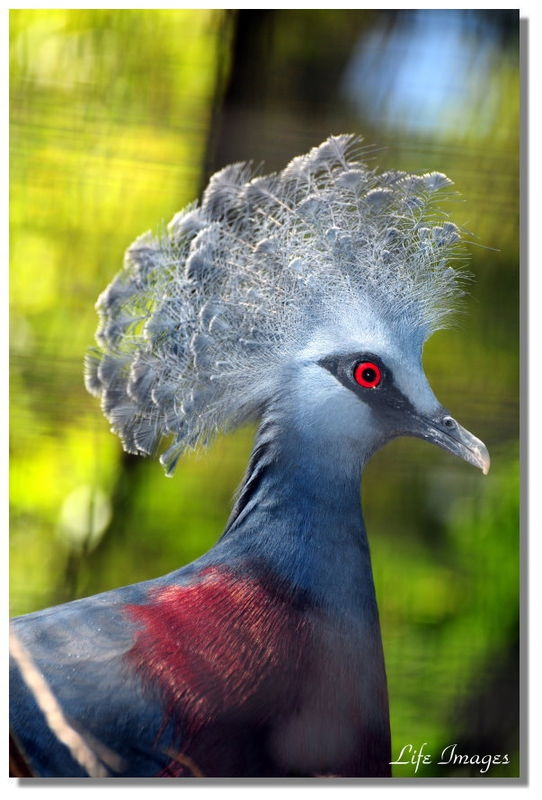 A Victoria Crowned Pigeon