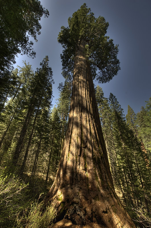 Giant Sequoia in tuolumne Grove
