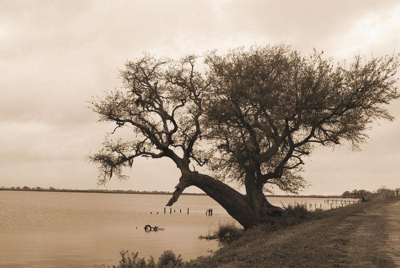 Oak on the bayou