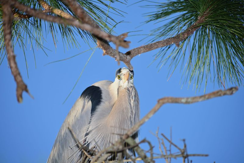 Staring Match,Great Blue Heron on Roost!!!
