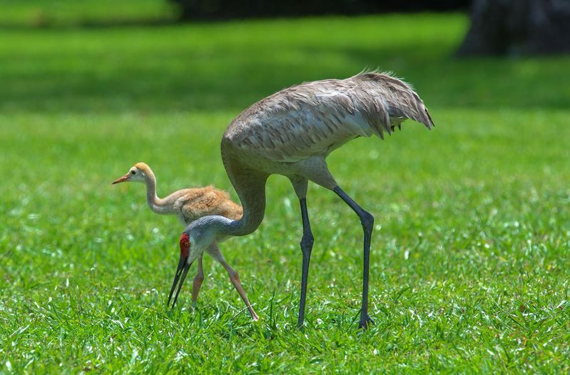 Grus canadensis,Momma and Baby