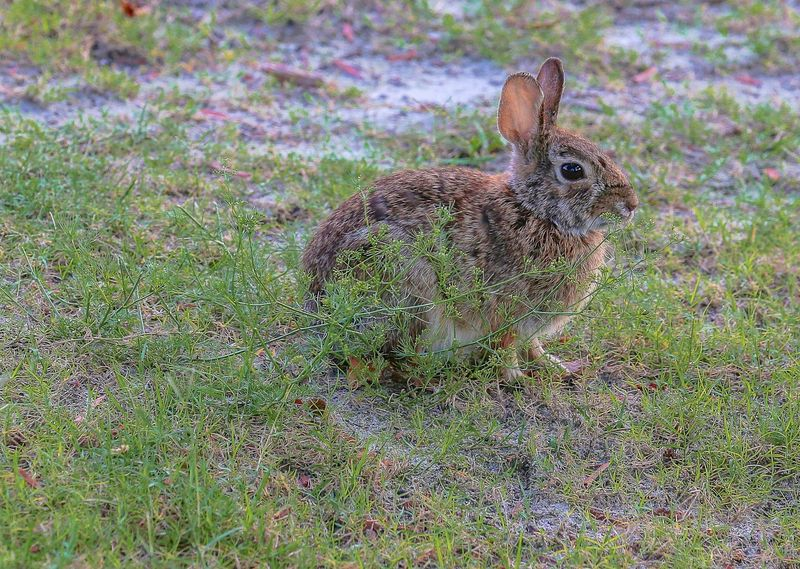 Sylvilagus palustris-Florida Marsh Rabbit