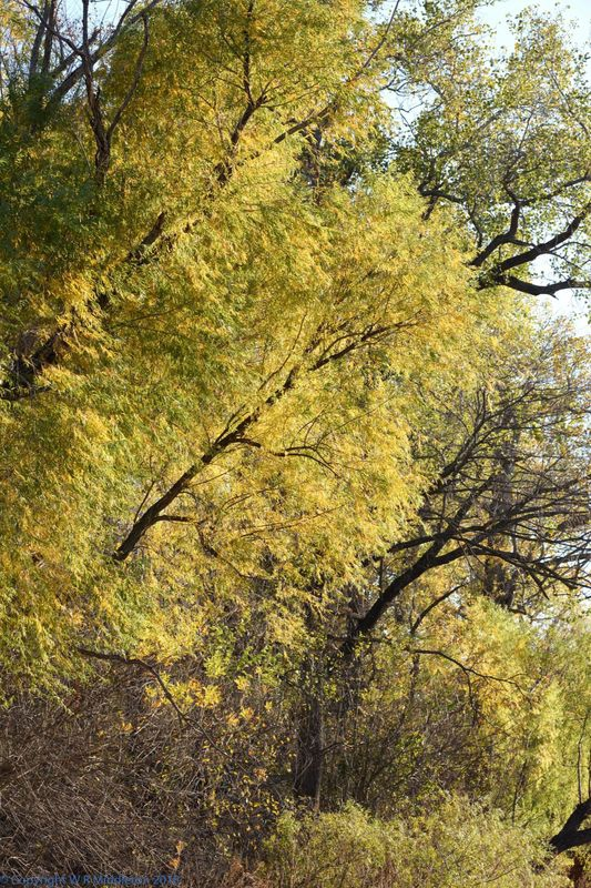 wispy yellow