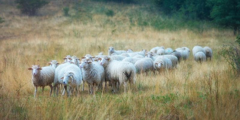 sheep-4704